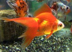Золотые рыбки: уход и содержание1