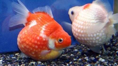 Жемчужина золотая рыбка