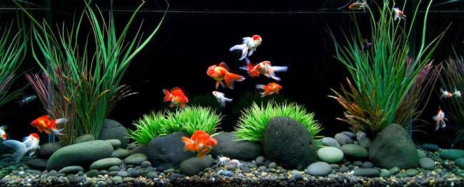 Просторный аквариум с золотыми рыбками.