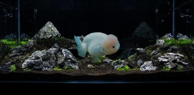 Lionchu goldfish.