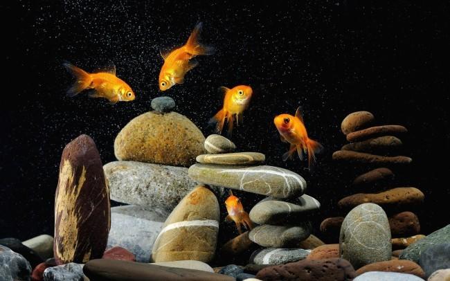 Резервуар с золотыми рыбками.