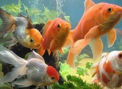 Разновидности золотых рыбок