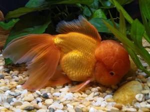 Совместимость золотых рыбок