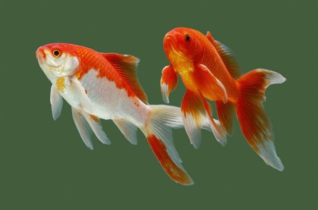 Совместимость золотых рыбок.