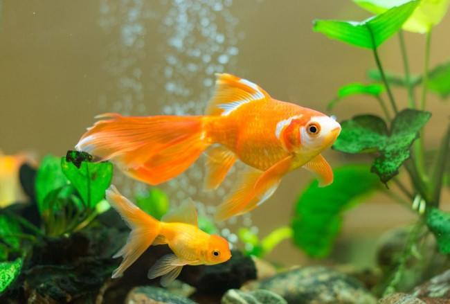 Золотые рыбки в аквариуме.