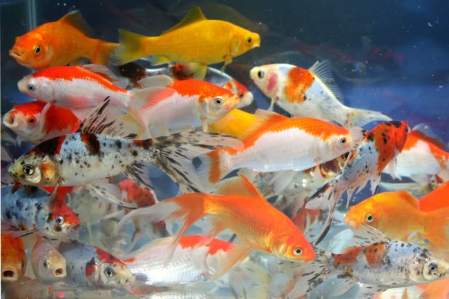 Золотые рыбки в аквариуме с другими рыбами.