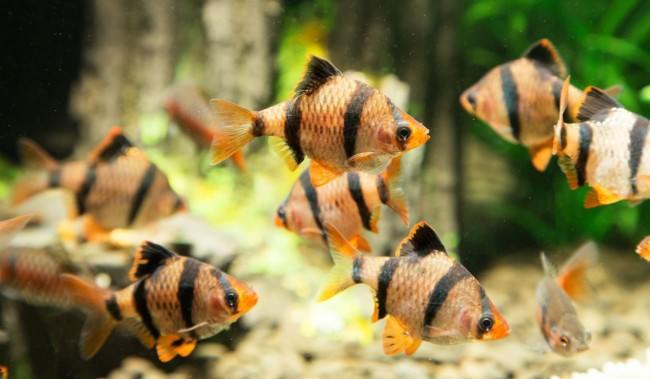 Полосатые золотые рыбки.