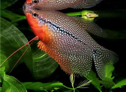 виды аквариумных рыб фото