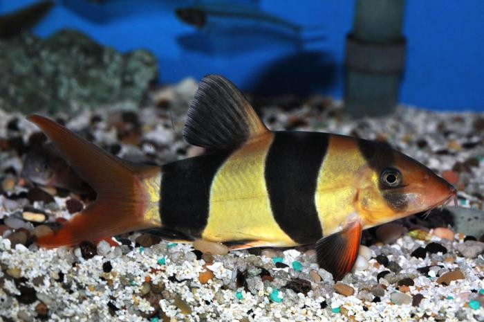 лабиринтовые аквариумные рыбки виды