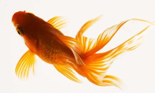 золотая рыбка красивый вид сверху