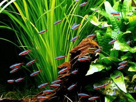 Неоны рыбки: содержание, совместимость, размножение, виды, фото-видео обзор