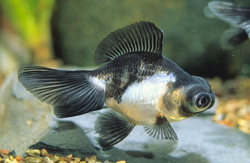 телескоп рыба