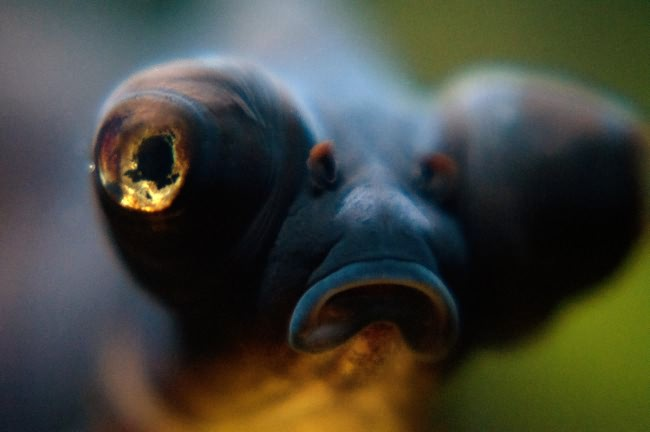 Black moor goldfish.