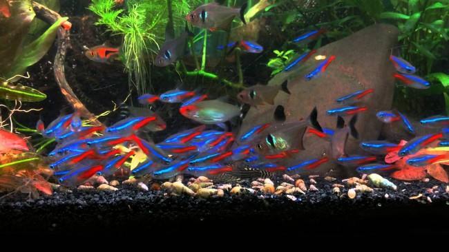 Неоны с другими рыбками.