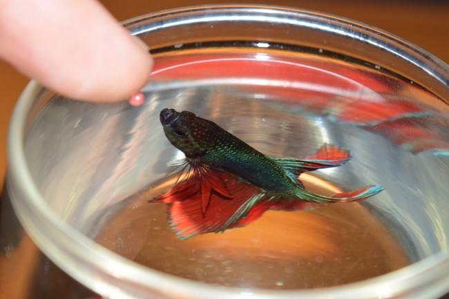 сколько надо знакомить рыб петушков