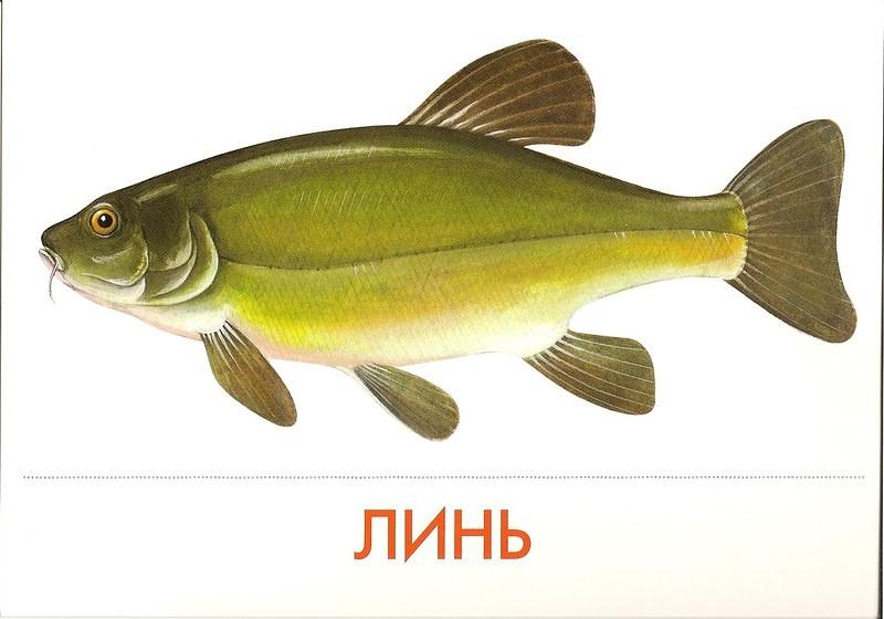 рисунки речных рыб картинки многом благодаря харизматичности