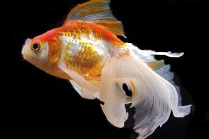 Золотая рыбка содержание в аквариуме